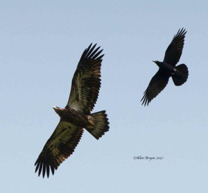 Bald Eagle with Common Raven in Clarke County, Va.
