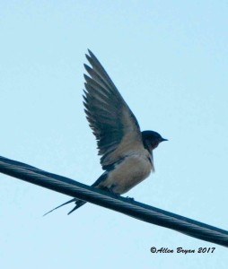 Barn Swallow in Prince George County, Va.