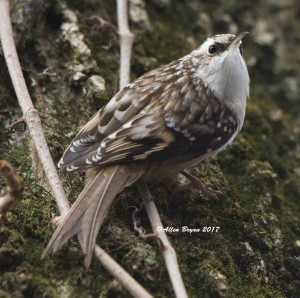 Brown Creeper in Jefferson County, WV