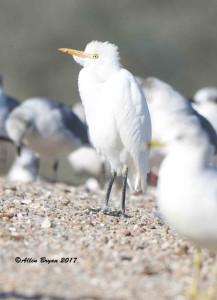 Cattle Egret in Colonial Heights, Virginia