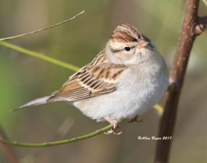 Chipping Sparrow in Charles City County, Va.