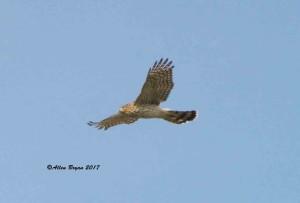Immature Cooper's Hawk in Frederick County, Va.