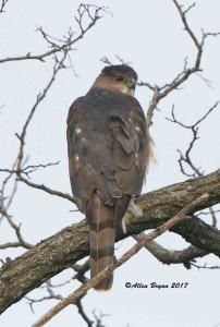 Cooper's Hawk in Frederick County, Va.