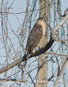 """Cooper's Hawk observing the """"pond"""" at American Family Fitness in Colonial Heights, Va."""