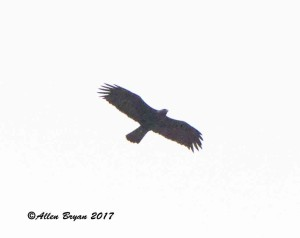 Golden Eagle in Frederick County, Va.