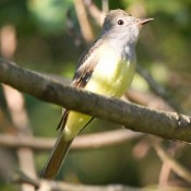 Great Crested Flycatcher in Charles City County, Va.