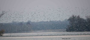 Some of the thousands of gulls from City of Hopewell, Va.