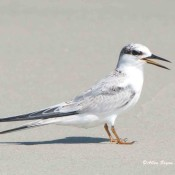 Least Tern from Cape Lookout, N.C.