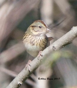 Lincoln's Sparrow from Fauquier County, Va.