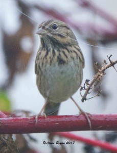 Lincoln's Sparrow in Clarke County, Va.