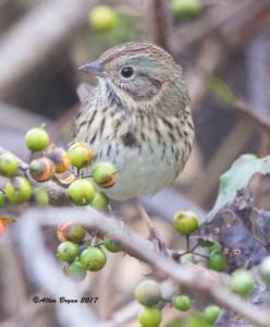 Lincoln's Sparrow in Fauquier County, Va.