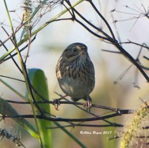 Lincoln's Sparrow at Blandy Farm, Clarke County, Va.