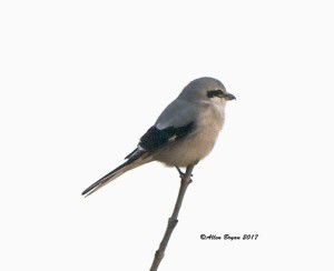 Northern Shrike at Sully Woodlands Park, Fairfax County, Va