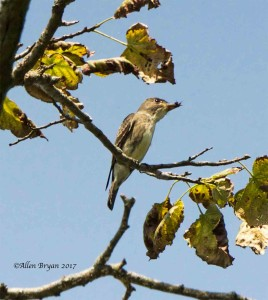 Olived-sided Flycatcher in Clarke County, Va.