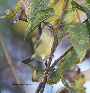 Orange-crowned Warbler in Hopewell, Va.
