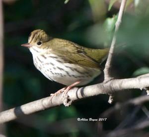 Ovenbird in Frederick County, Va.