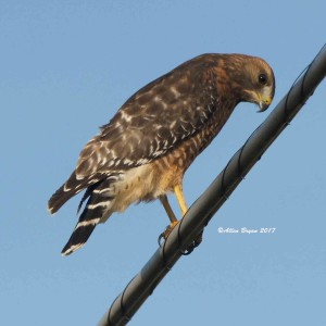 Red-shouldered Hawk in Jefferson County, WVa