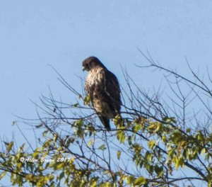 Red-tailed Hawk (albeiticola) in Charles City County, Va.