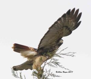 Red-tailed Hawk (abeiticola) in Culpepper County, Va