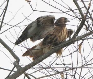 Red-tailed Hawk (abeiticola) in Fauquier County, Va.