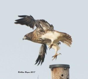 Red-tailed Hawk (abeiticola) in Goochland County, Va