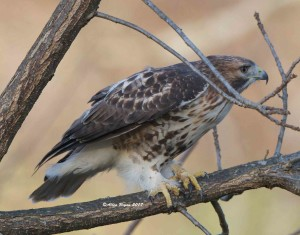 Red-tailed Hawk in Jefferson County, WVa