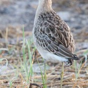 Ruff in Carteret County, N.C.