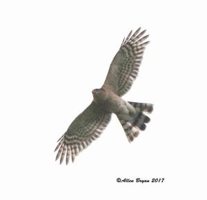 Sharp-shinned Hawk in Frederick County, Va.