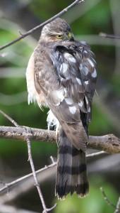 Sharp-shinned Hawk at Shawnee Wetlands Preserve, Winchester, Va.