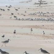 Shorebirds at Cape Lookout, N.C. (Willet, Black-bellied Plover, Sanderling, Red Knot)