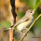 Warbling Vireo on September 10th in Charles City County, Va.