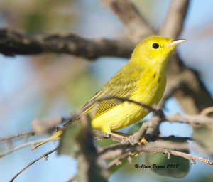 Yellow Warbler in Charles City County, Va.