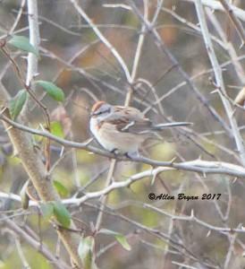 American Tree Sparrow in Frederick County, Va.