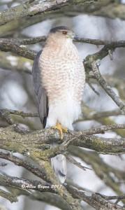 Cooper's Hawk at Blandy Experimental Farm, Clarke County, Va.