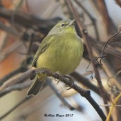 Orange-crowned Warbler in the City of Hopewell, Va.