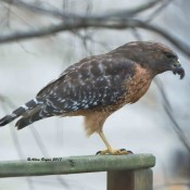 Red-shouldered Hawk finishing off squirrel in my backyard