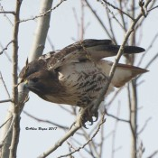 Red-tailed Hawk in Charles City County, Va.