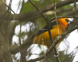 Altimira Oriole at the National Butterfly Garden, Texas