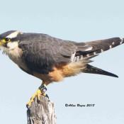 Aplomado Falcon near Brownsville, Texas