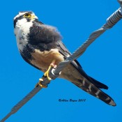 Aplomado Falcon on Old Port Isabel Road, Texas