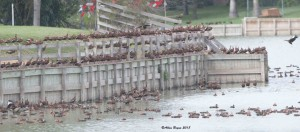 Some of the thousands of Black-bellied Whistling Ducks at Progresso Lakes, Texas