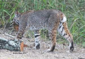 Bobcat after capturing Great Kiskadee Flycatcher from water drip at Bentsen Rio Grande State Park, Tx