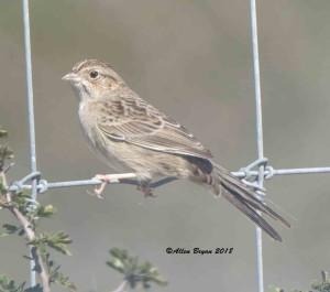 Cassin's Sparrow in Zapata County, Texas