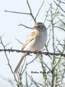 Clay-colored Sparrow in Zapata County, Texas