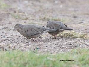 Common Ground Dove at Estero Llano Grande State  Park, Texas