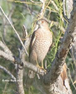 Cooper's Hawk at Estero Llano Grande State Park, Texas
