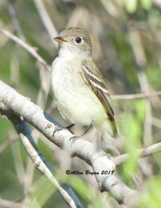 Least Flycatcher on entry road to Sabal Palms Sanctuary, Texas