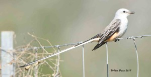 Scissor-tailed Flycatcher in Hidalgo County, Texas