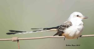 2nd Scissor-tailed Flycatcher in Hidalgo County, Texas