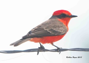 Vermillion Flycatcher from Starr County, Texas